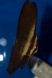 Νεανικό Orbic Batfish Στοκ Φωτογραφία