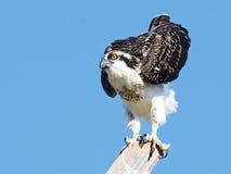 νεανικό osprey Στοκ Φωτογραφίες