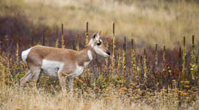 Νεανικό Pronghorn Antilocapra αμερικανικό Στοκ Εικόνες