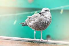 νεανικό seagull Στοκ Φωτογραφία