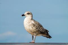 νεανικό seagull Στοκ Εικόνες