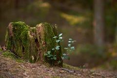 Νεαροί βλαστοί άνοιξη που αυξάνονται σε ένα παλαιό κολόβωμα δέντρων στοκ φωτογραφία