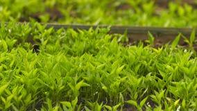 Νεαροί βλαστοί καλαμποκιού στο χώμα και το χαιρετισμό φιλμ μικρού μήκους