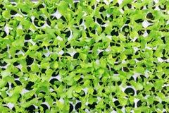 Νεαροί βλαστοί μαρουλιού Πράσινες εγκαταστάσεις μαρουλιού Σπορόφυτα μαρουλιού Στοκ εικόνες με δικαίωμα ελεύθερης χρήσης