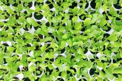 Νεαροί βλαστοί μαρουλιού Πράσινες εγκαταστάσεις μαρουλιού Σπορόφυτα μαρουλιού Στοκ Φωτογραφία