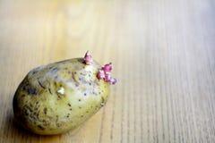 Νεαροί βλαστοί πατατών στοκ εικόνες