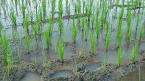 Νεαροί βλαστοί ρυζιού στον τομέα ρυζιού Νεαροί βλαστοί ρυζιού που μεγαλώνουν στο αγρόκτημα απόθεμα βίντεο