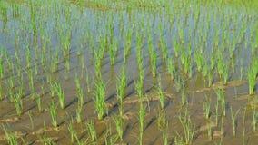 Νεαροί βλαστοί ρυζιού στον τομέα ρυζιού Νεαροί βλαστοί ρυζιού που μεγαλώνουν στο αγρόκτημα φιλμ μικρού μήκους