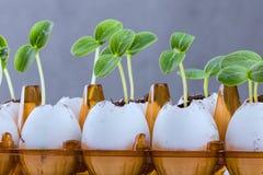 Νεαροί βλαστοί αγγουριών eggshell Στοκ εικόνες με δικαίωμα ελεύθερης χρήσης