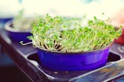 Νεαροί βλαστοί της σαλάτας σε ένα δοχείο Στοκ εικόνα με δικαίωμα ελεύθερης χρήσης