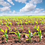 Νεαροί βλαστοί τομέων καλαμποκιού στις σειρές στη γεωργία Καλιφόρνιας Στοκ Εικόνες