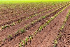Νεαροί βλαστοί τομέων καλαμποκιού στις σειρές στη γεωργία Καλιφόρνιας Στοκ φωτογραφία με δικαίωμα ελεύθερης χρήσης