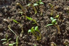 Νεαροί βλαστοί του κορίανδρου στο χώμα Στοκ φωτογραφία με δικαίωμα ελεύθερης χρήσης
