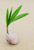 νεαρός βλαστός καρύδων Στοκ Φωτογραφία