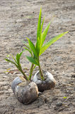 νεαρός βλαστός καρύδων Στοκ εικόνα με δικαίωμα ελεύθερης χρήσης