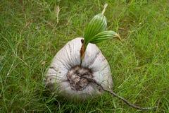Νεαρός βλαστός καρύδων Στοκ φωτογραφία με δικαίωμα ελεύθερης χρήσης
