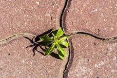 Νεαρός βλαστός που βλαστάνεται πράσινος μεταξύ των οδικών κεραμιδιών Έννοια - αστικοποίηση ενάντια στη φύση E στοκ εικόνες με δικαίωμα ελεύθερης χρήσης