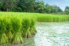 Νεαρός βλαστός ρυζιού στο πεδίο Στοκ Φωτογραφίες