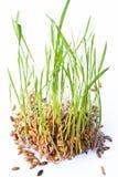 Νεαρός βλαστός ρυζιού Στοκ φωτογραφία με δικαίωμα ελεύθερης χρήσης