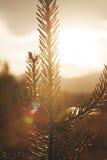 Νεαρός βλαστός δέντρων πεύκων Στοκ φωτογραφία με δικαίωμα ελεύθερης χρήσης