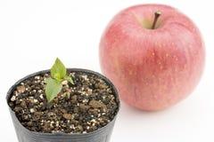 Νεαρός βλαστός δέντρων της Apple Στοκ εικόνα με δικαίωμα ελεύθερης χρήσης