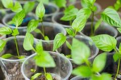 Νεαρός βλαστός του πράσινου πιπεριού Στοκ εικόνα με δικαίωμα ελεύθερης χρήσης