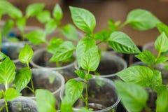 Νεαρός βλαστός του πράσινου πιπεριού Στοκ Φωτογραφίες