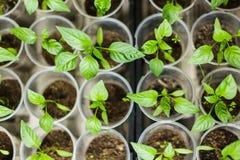 Νεαρός βλαστός του πράσινου πιπεριού Στοκ Εικόνα