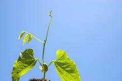 Νεαρός βλαστός φασολιών ξιφών Στοκ εικόνα με δικαίωμα ελεύθερης χρήσης