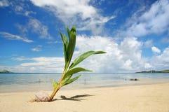 Νεαρός βλαστός φοινίκων σε μια τροπική παραλία, nananu-ι-RA νησί, Φίτζι Στοκ Φωτογραφίες