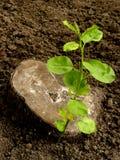 Νεαρός βλαστός Apple-δέντρων Στοκ Εικόνες
