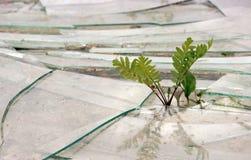 νεαρός βλαστός tansy και plantain βλαστών μέσω του σπασμένου γυαλιού στο έδαφος έννοιας ξηρός νεαρός βλαστός αύξησης επίγειας ζωή Στοκ Φωτογραφίες