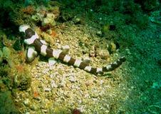 Νεαρός καρχαριών μπαμπού Brownbanded, Ινδονησία Στοκ Φωτογραφίες