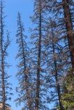 Νεκρά δέντρα κωνοφόρων που σκοτώνονται από τον κάνθαρο φλοιών Στοκ Εικόνα