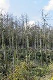 νεκρά δέντρα πεύκων Στοκ Φωτογραφίες