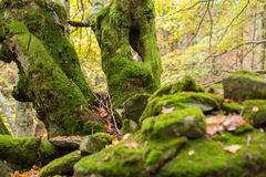 Νεκρά δέντρα που καλύπτονται με το βρύο σε έναν λόφο των πετρών Στοκ Εικόνες