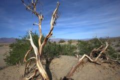 Νεκρά δέντρα στην κοιλάδα θανάτου, Καλιφόρνια Στοκ Εικόνες