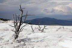 Νεκρά δέντρα στις μαμμούθ καυτές ανοίξεις, Yellowstone NP Στοκ Εικόνες