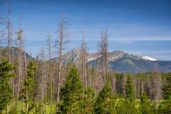 Νεκρά δέντρα στο δάσος πεύκων Στοκ Εικόνες