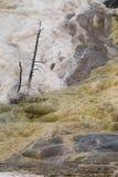 Νεκρά δέντρα στο μαμμούθ καυτό εθνικό πάρκο Yellowstone ανοίξεων Στοκ φωτογραφία με δικαίωμα ελεύθερης χρήσης