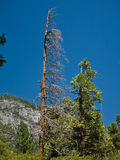 Νεκρά δέντρα λόγω μιας προηγούμενης δασικής πυρκαγιάς Στοκ Εικόνες