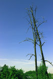 νεκρά δέντρα δύο Στοκ Εικόνα