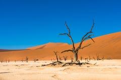 Νεκρά δέντρα Camelthorn και κόκκινοι αμμόλοφοι, Deadvlei, Sossusvlei, Ναμίμπια Στοκ φωτογραφία με δικαίωμα ελεύθερης χρήσης