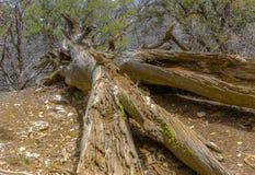 Νεκρά δέντρο και βρύο σε ένα δέντρο Arrowhead λιμνών Στοκ Φωτογραφίες