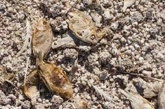 Νεκρά αποξηραμένα ψάρια Στοκ Εικόνες