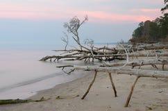 Νεκρά δέντρα στην παραλία ακρωτηρίων Kolka Στοκ εικόνες με δικαίωμα ελεύθερης χρήσης