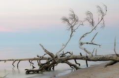 Νεκρά δέντρα στην παραλία ακρωτηρίων Kolka Στοκ φωτογραφία με δικαίωμα ελεύθερης χρήσης