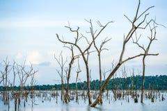 Νεκρά δέντρα στο έλος με την αντανάκλαση Στοκ φωτογραφίες με δικαίωμα ελεύθερης χρήσης