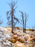 Νεκρά δέντρα τις μαμμούθ καυτές ανοίξεις, εθνικό πάρκο Yellowstone Πεζούλι τραβερτινών Στοκ Εικόνες