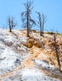 Νεκρά δέντρα τις μαμμούθ καυτές ανοίξεις, εθνικό πάρκο Yellowstone Πεζούλι τραβερτινών Στοκ Φωτογραφίες